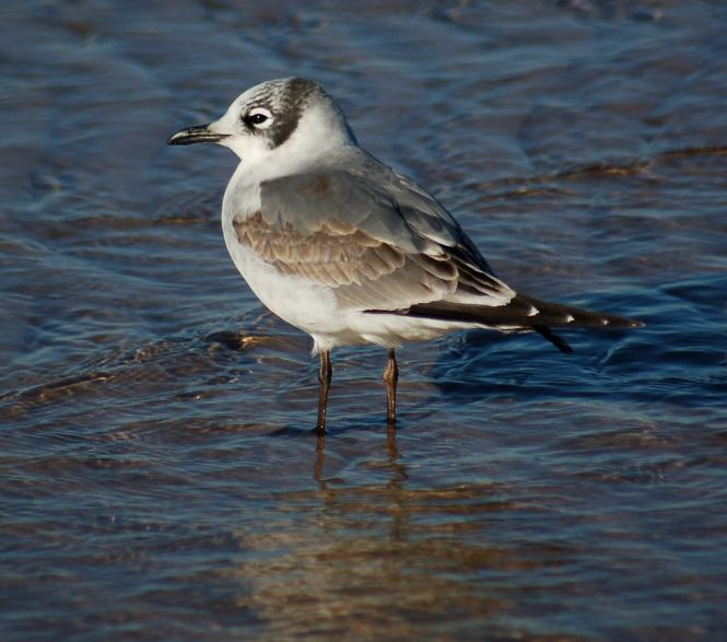 Franklin's Gull (1st cycle)