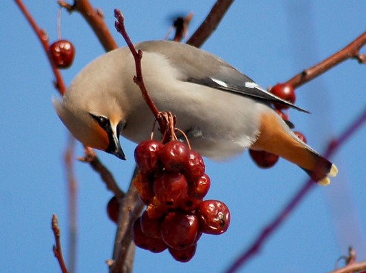 Bohemian Waxwing photo #3