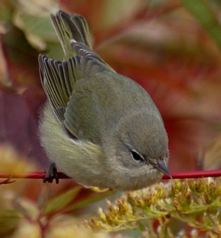 Orange-crowned Warbler photo #1
