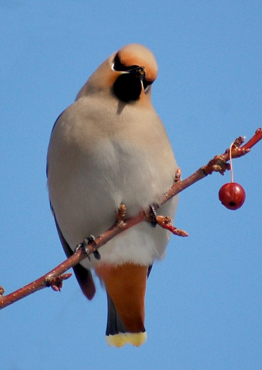 Bohemian Waxwing photo #4
