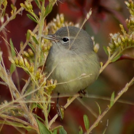 Orange-crowned Warbler photo #2