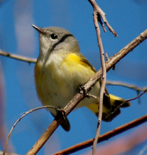 American Redstart (adult female or immature male) photo #1