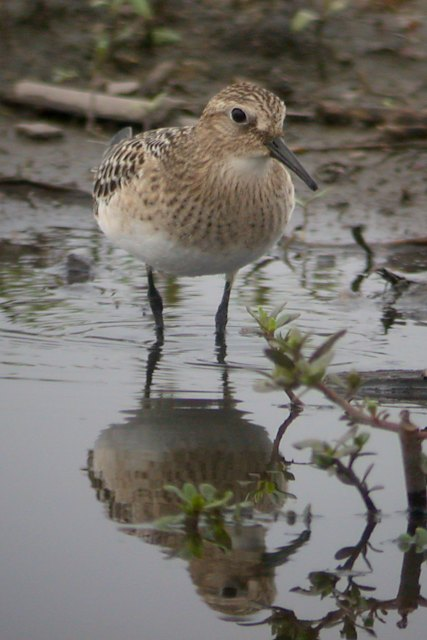 Baird's Sandpiper (juvenile) photo #7