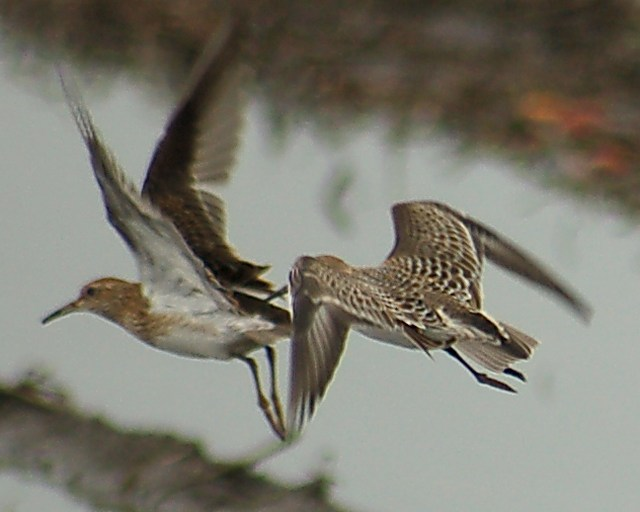 Baird's Sandpiper (juvenile in flight with juv Pectoral)
