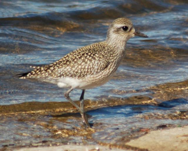 Black-bellied Plover (fresh juvenile) photo #3