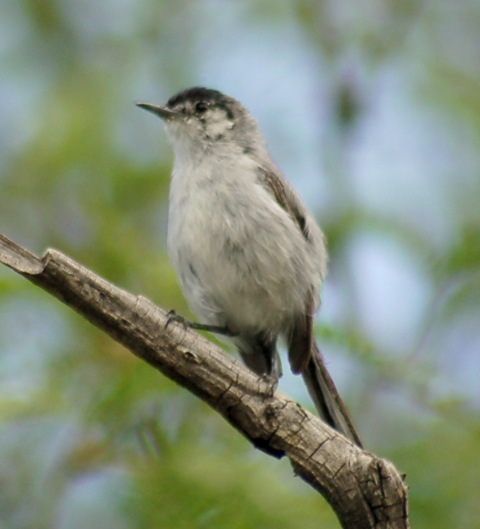 Black-capped Gnatcatcher (adult male)