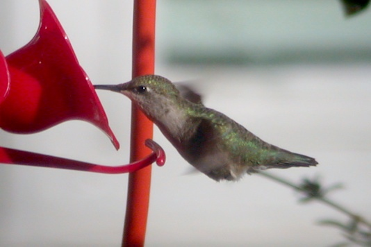 Black-chinned Hummingbird photo #4