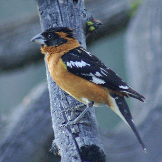 Black-headed Grosbeak photo #2