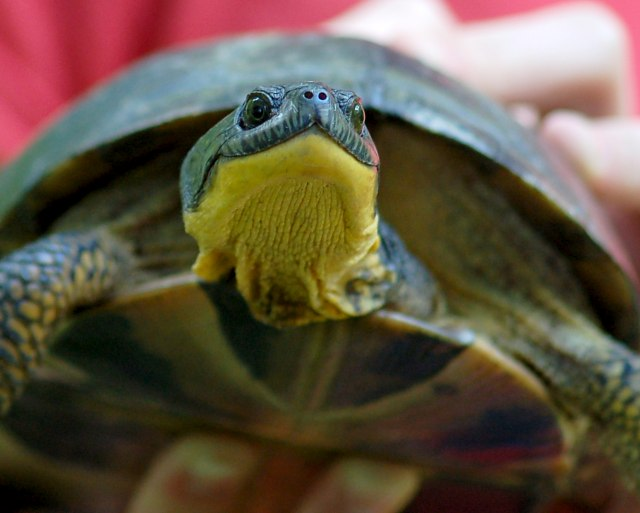 Blanding's Turtle (adult) photo #3