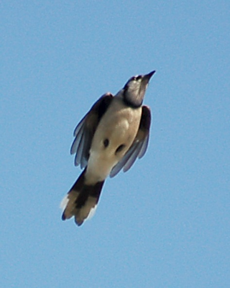 Blue Jay (in flight) photo #2