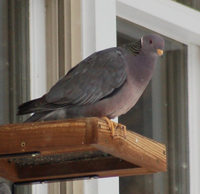 Band-tailed Pigeon Photo 2