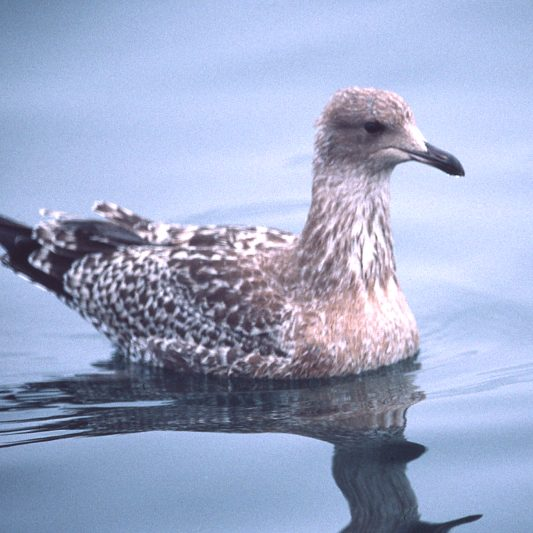 California Gull (juvenile)