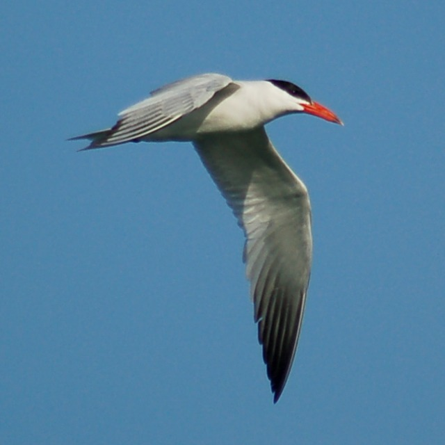 Caspian Tern (adult) photo #1