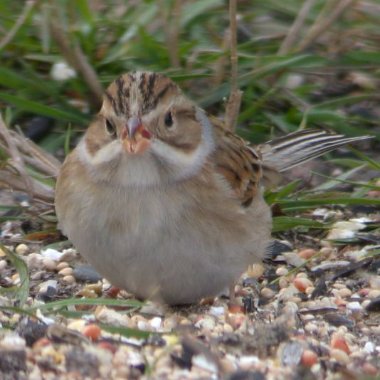 Clay-colored Sparrow photo #2