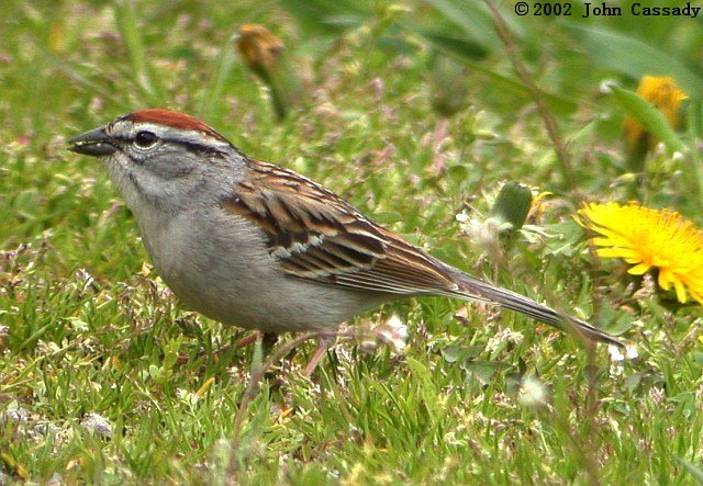 Chipping Sparrow Photo 3