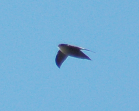 Chimney Swift photo #1