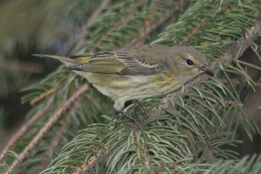 Cape May Warbler (1st fall female)