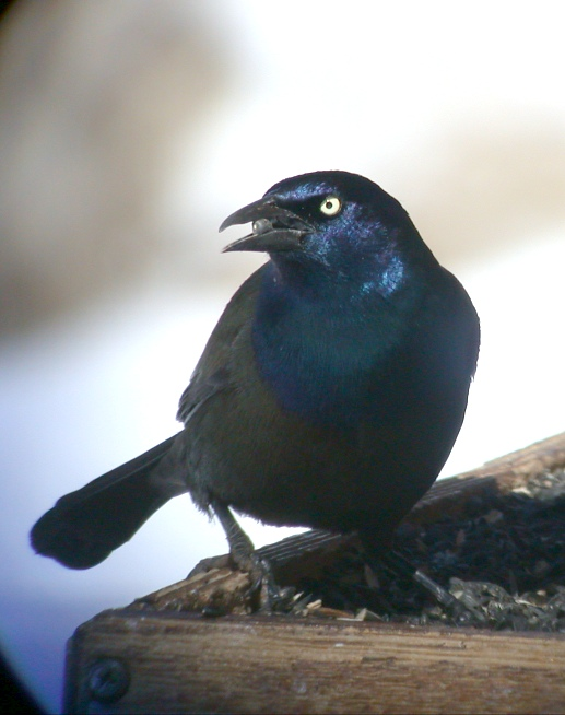 Common Grackle Photo 2