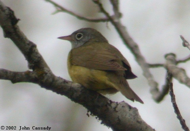 Connecticut Warbler Photo 1