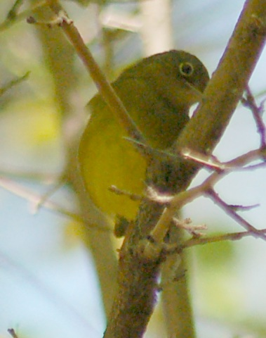 Connecticut Warbler (first fall female)