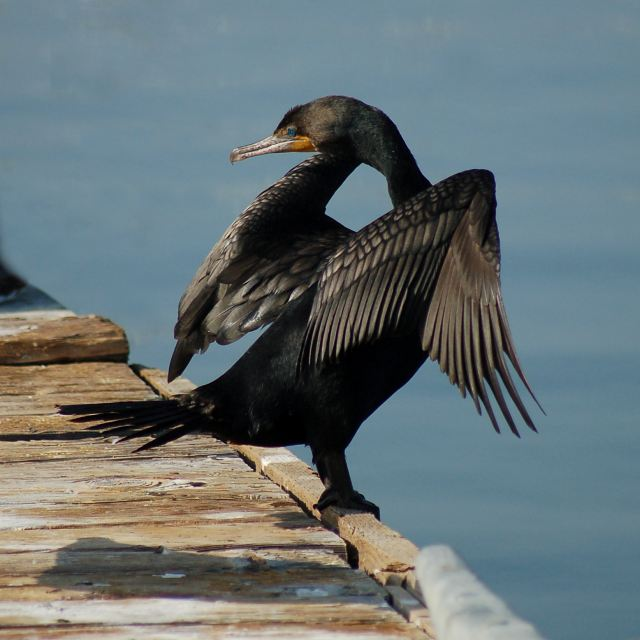 Double-crested Cormorant photo #1