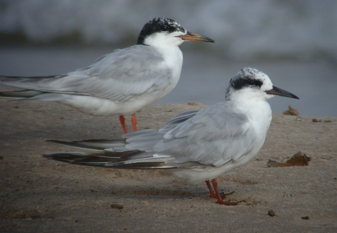 Forster's Tern Photo 2
