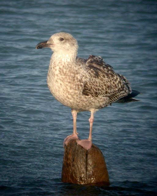 Great Black-backed Gull Photo #1