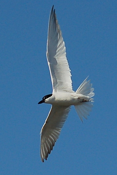 Gull-billed Tern photo #2
