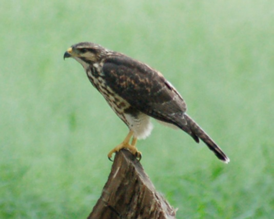 Gray Hawk (juvenile)