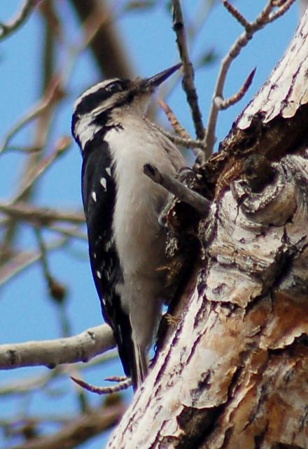 Hairy Woodpecker (adult interior west form)