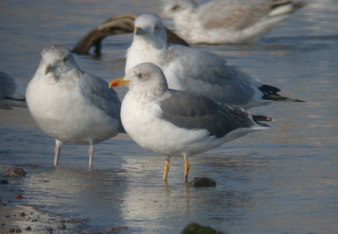 Lesser Black-backed Gull Photo 1