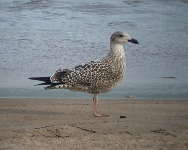 Lesser Black-backed Gull  (IN)