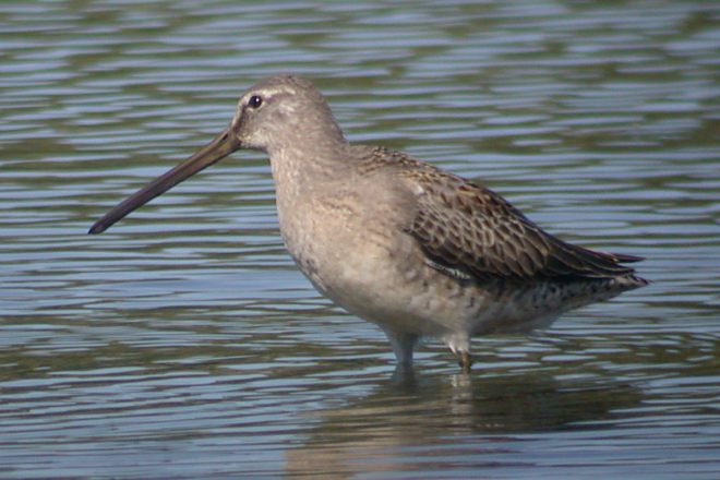 Long-billed Dowitcher photo #3