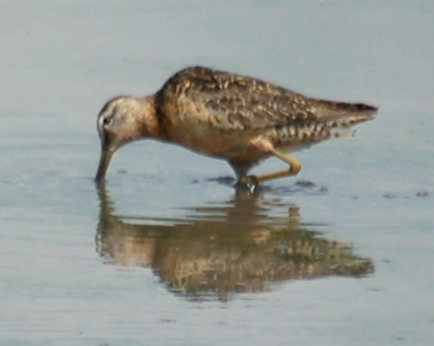 Long-billed Dowitcher photo #2