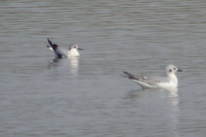 Little Gull (1st year)