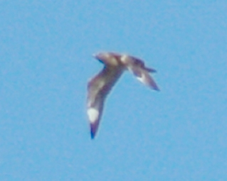 Long-tailed Jaeger (juvenile) photo #3