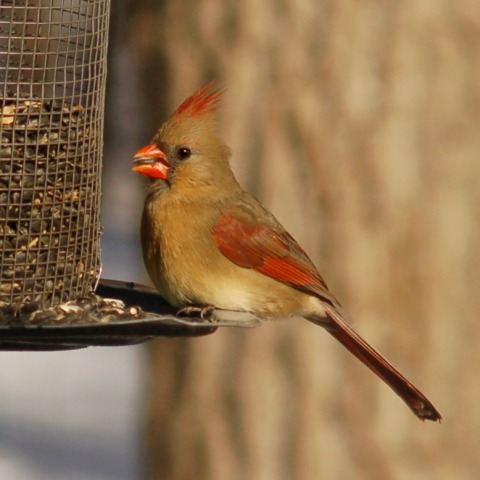 Northern Cardinal Photo #2