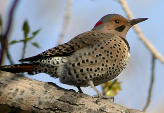 Northern Flicker Photo 2