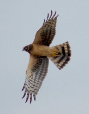 Northern Harrier (juvenile) photo #3