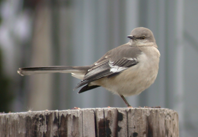 Northern Mockingbird Photo 3