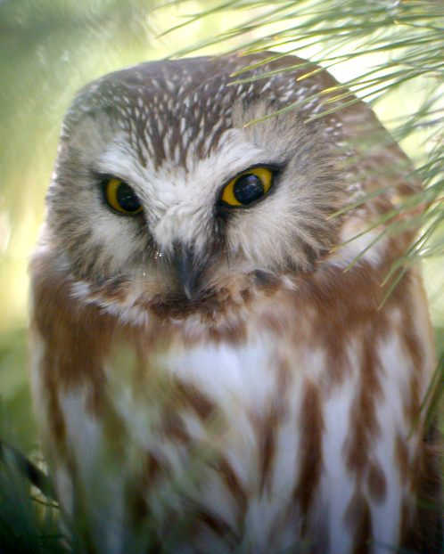 Northern Saw-whet Owl photo #2