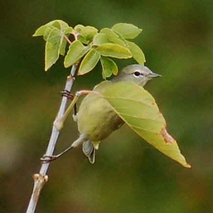 Orange-crowned Warbler photo #3