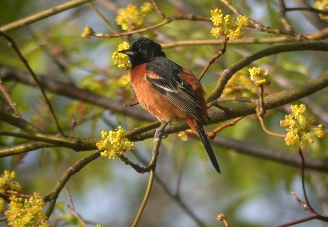 Orchard Oriole photo #1