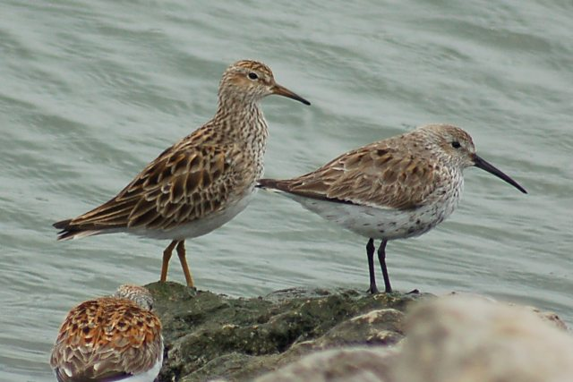 Pectoral Sandpiper Photo 2