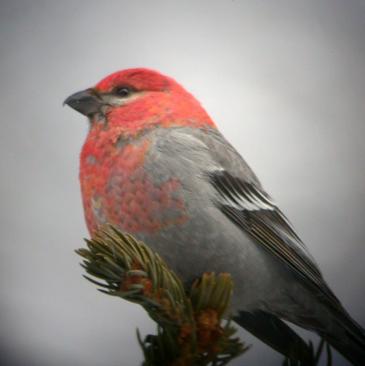 Pine Grosbeak (male) Photo 1