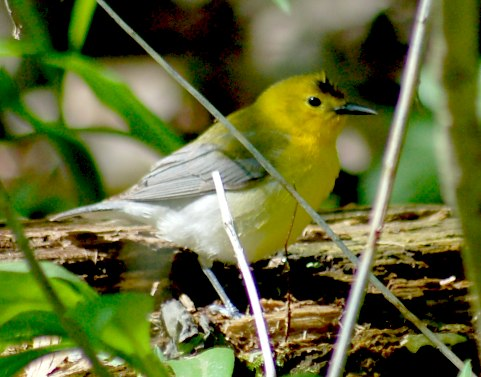 Prothonotary Warbler (spring adult female)