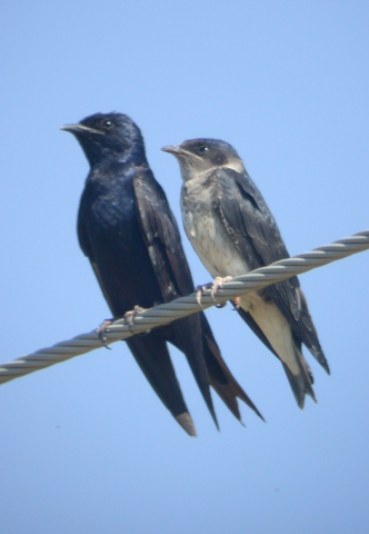 Purple Martin (adult male with Juvenile)