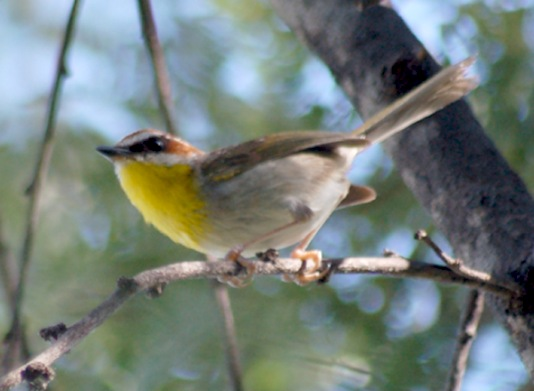 Rufous-capped Warbler (adult)