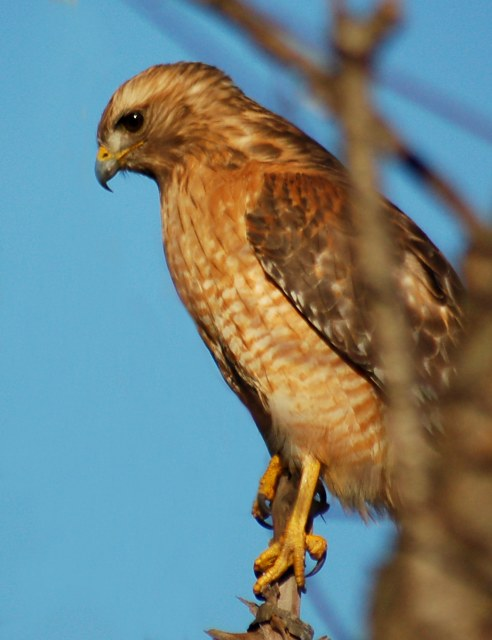 Red-shouldered Hawk photo #5