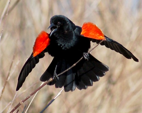 Red-winged Blackbird photo #3